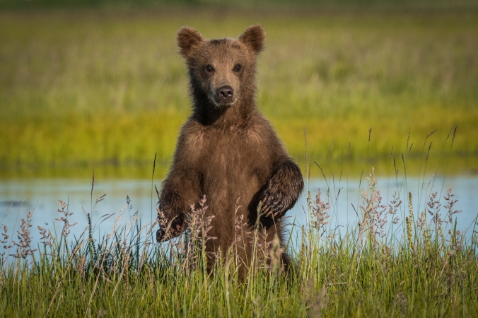 Brown Bear Cub (1 of 1)